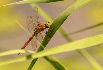 Libelle aan de waterkant van Marjolein van Middelkoop