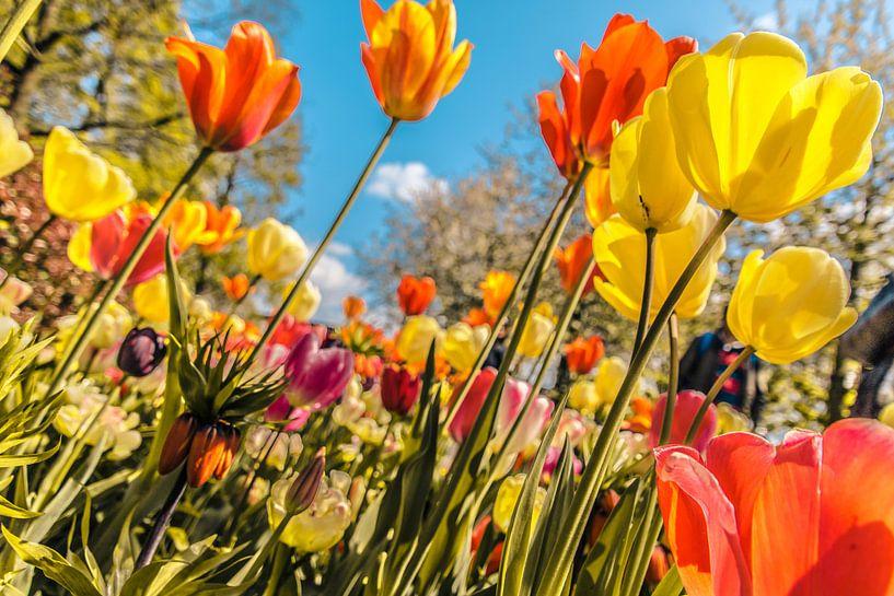 Een kleurrijk veld tulpen van Stedom Fotografie