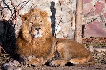 sieht forschend aus. Ein kräftiges Löwenmännchen mit einer schicken, von der Sonne geweihten Mähne. von Michael Semenov