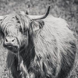 Schotse hooglander met grasspriet, Highlander cow van Michèle Huge