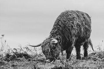 Schottischer Highlander 2 von MdeJong Fotografie