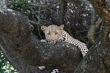 Leopard im Baum von