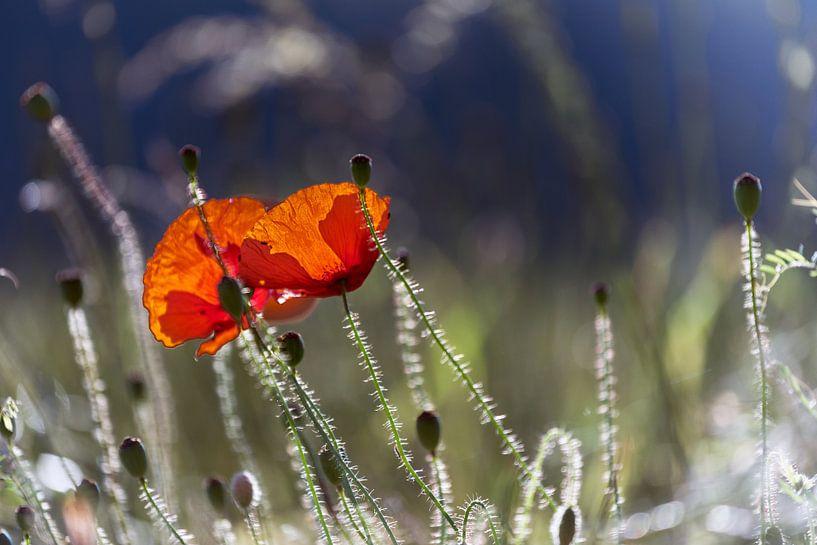 poppies van Kurt Krause