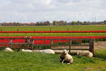 Schapen voor tulpenvelden von Cora Unk