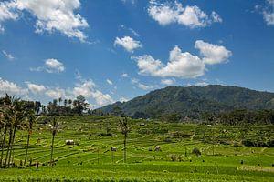 Indonesië - groene rijstterrassen in Bali