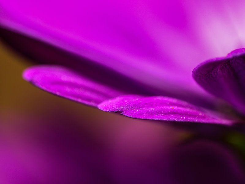 Violettes Blütenblatt