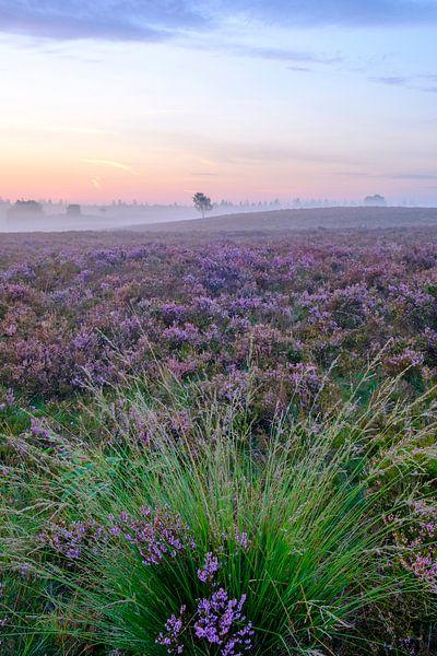 Bloeiende heide op de Veluwe tijdens zonsopkomst van Sjoerd van der Wal