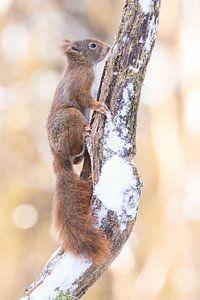 Eekhoorntje op besneeuwde tak van Cindy Van den Broecke
