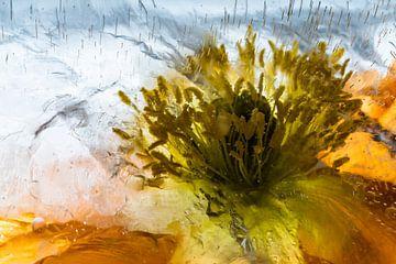 Close-up vom Isländischen Mohn in Eis 3