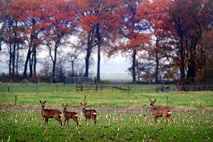 Reeën  in herfst landschap