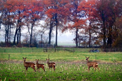 Reeën  in herfst landschap   van