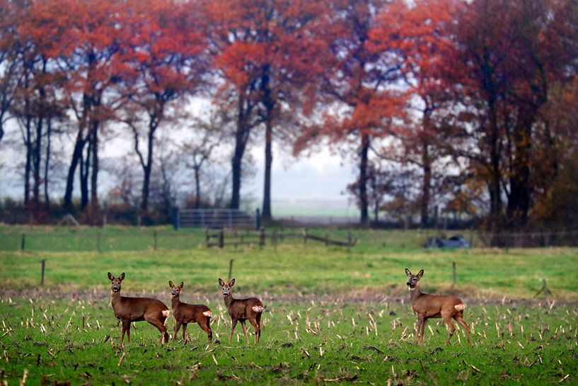 Reeën  in herfst landschap   van Niels  de Vries