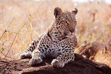 Parmantig vrouwtjes luipaard  van