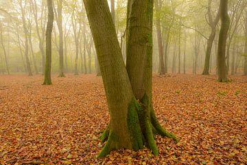Nevelig beukenbos tijdens een herfstochtend van Sjoerd van der Wal