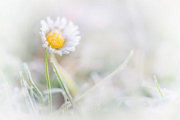 Madeliefje (bloem) bedekt met ijs / rijp. van Albert Beukhof