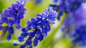 Blauwe Druifjes Closeup van Samantha Schoenmakers