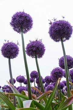 Paarse uienbollen in bloei van Affectfotografie