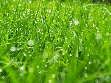 Dauwdruppels in het gras van
