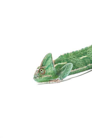 Kameleon in het groen
