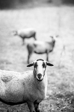 Schaf Trio in Schwarz und Weiß von John Quendag