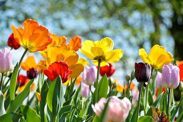 Tulpen in de zon van Rob Donders Beeldende kunst