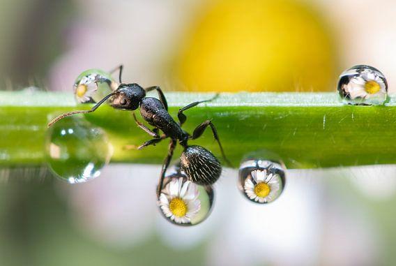 de mier tussen de druppels, EMANUELE CALEFFI
