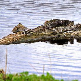 krokodil? van joyce kool