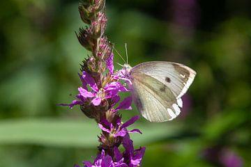 Vlinder op paarse bloem van Nel Diepstraten