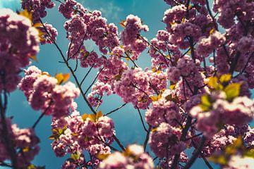 Bloesems roze 04 van FotoDennis.com