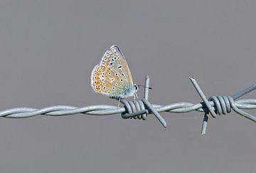 Icarusblauwtje op prikkeldraad van Remco Van Daalen