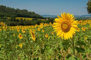 Feld mit Sonnenblumen von Elles Rijsdijk