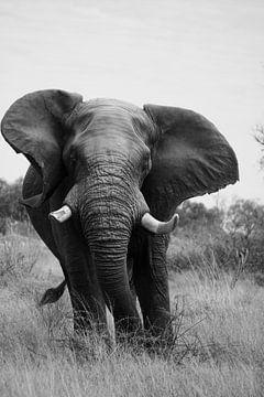 Afrikaanse olifant van Femke Looman