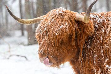 Portret van een Schotse Hooglander koe in de sneeuw van