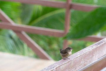 Huiswinterkoning Costa Rica 4 van Mirjam Welleweerd