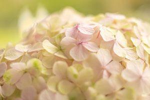 Close up hortensia van