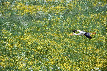 Ooievaar vliegt boven boterbloemen van Frans Lemmens