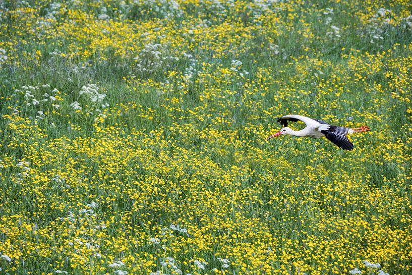 La cigogne vole au-dessus des renoncules sur Frans Lemmens