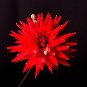 Blumenstillleben, Dahlie, Studiofotografie von Coby Vriens