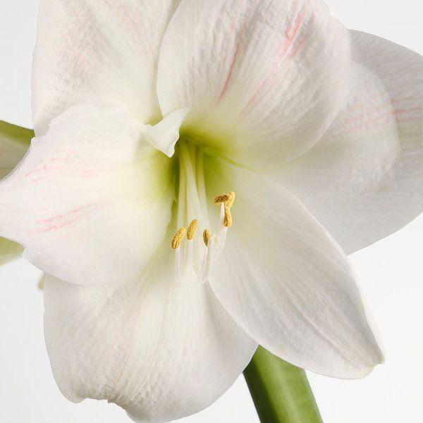 Amaryllis bloem van Menno Schaefer