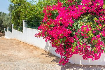 Rode Bougainvillea bloemen aan bloeiende plant hangt over witte muur in tuin van Ben Schonewille
