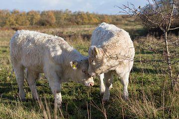 Weißes Vieh in den Dünen von Ouddorp sur Charlene van Koesveld