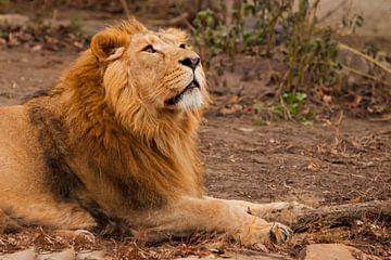 Il renifle sa tête de profil. Un lion mâle puissant à la crinière chic ment de façon impressionnante sur Michael Semenov