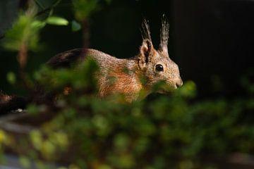 Eekhoorn - sneaking van Meleah Fotografie