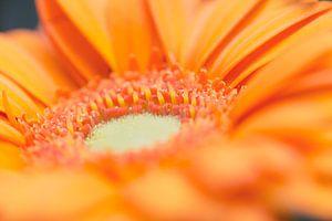 Oranje Gerbera van Kimberly van Aalten