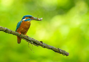 IJsvogel met gevangen visje van Remco Van Daalen