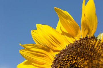 Sonnenblume von André Dorst
