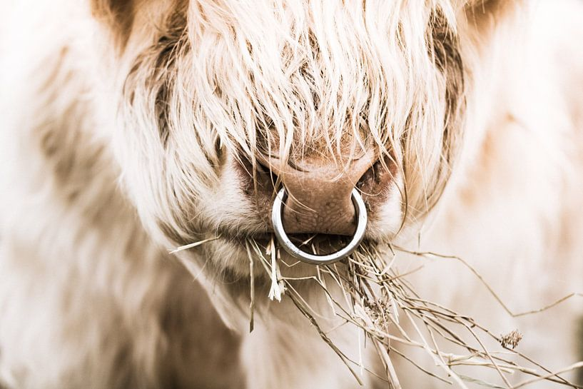 Schotse hooglander stier van Erica Kuiper