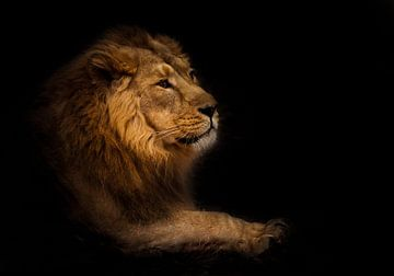 le calme. Vue de profil calme et confiante. Un lion mâle puissant à la crinière chic se couche de fa sur Michael Semenov