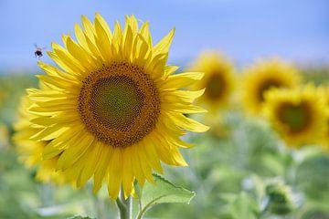 Sonnenblume bei von Geert van Kuyck