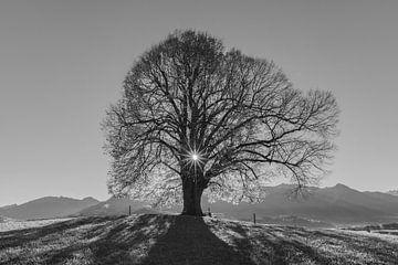 alter Lindenbaum von Walter G. Allgöwer